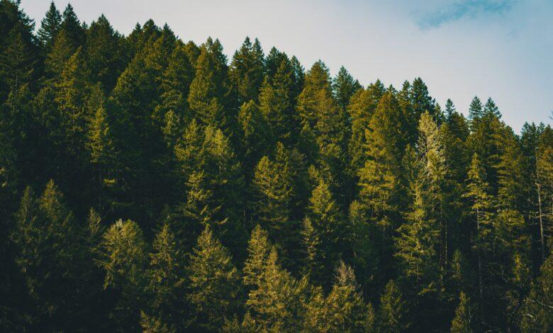 Jedna Sosna - 7kg Dwutlenku Węgla Mniej W Atmosferze